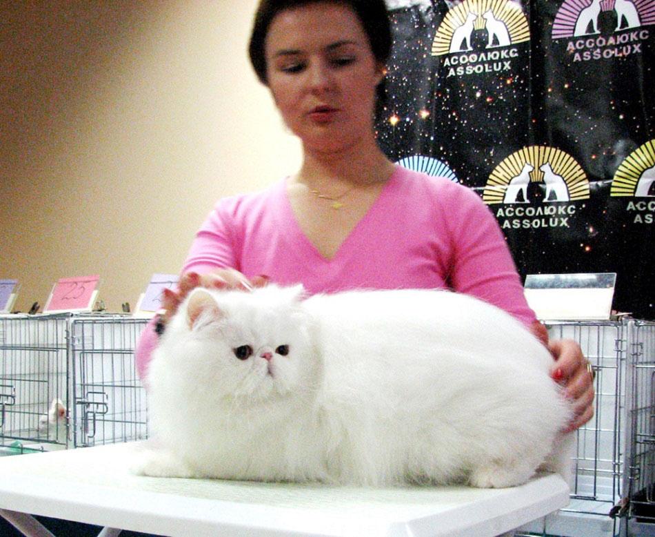 перс выставка кошек