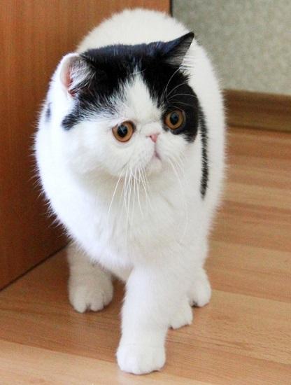 кот кошкакупить
