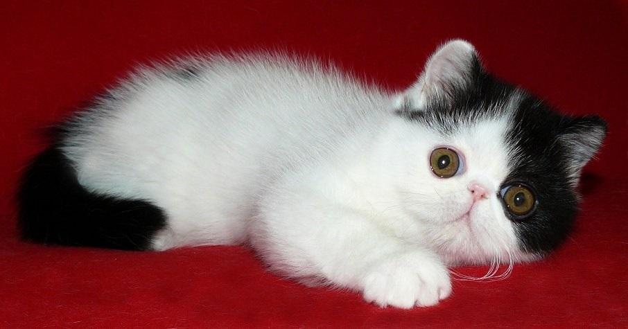 питомник экзотических кошек