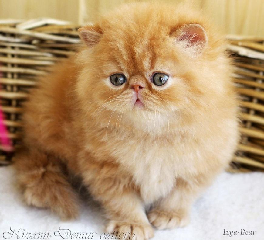 котята перс экзот питомник
