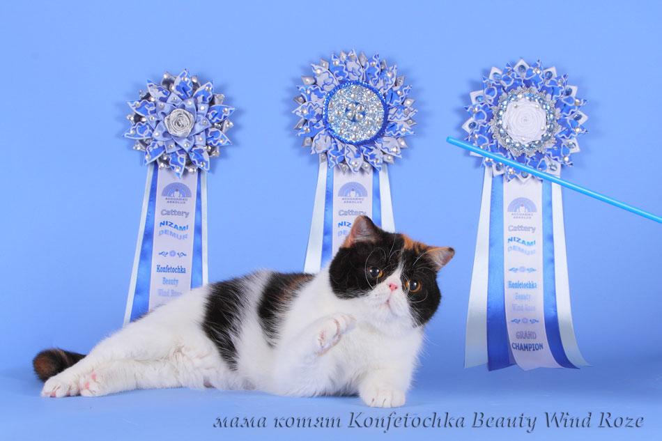 котята персы и экзоты питомник