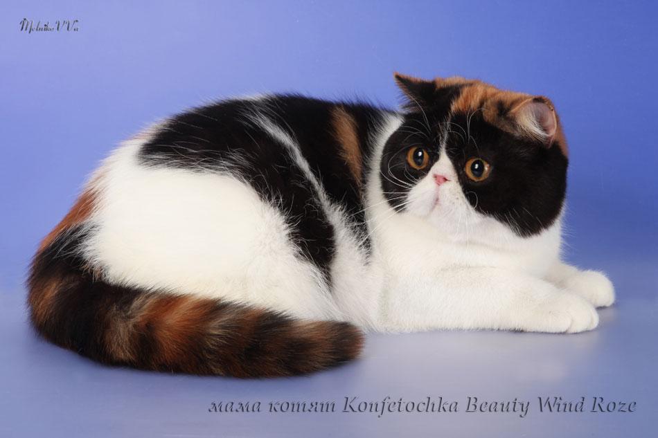 котята экзоты питомник