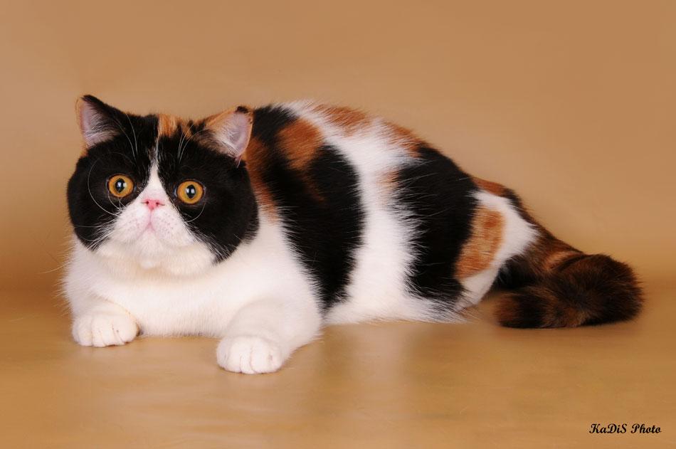 котята персы питомник