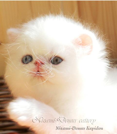 кошка длинношерстная москва