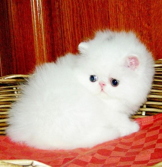 кошка москва перс или экзот