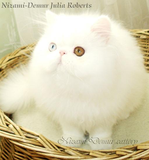 кошка экзот москва