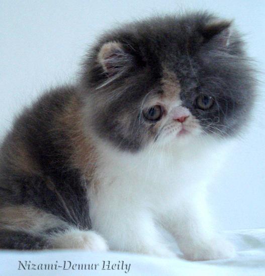 кошка москва персы