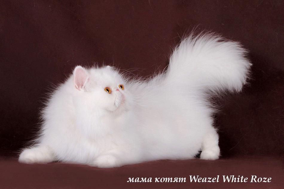 котята питомник персы и экзоты