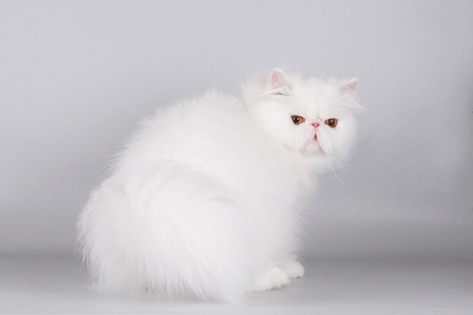 котята питомник экзоты