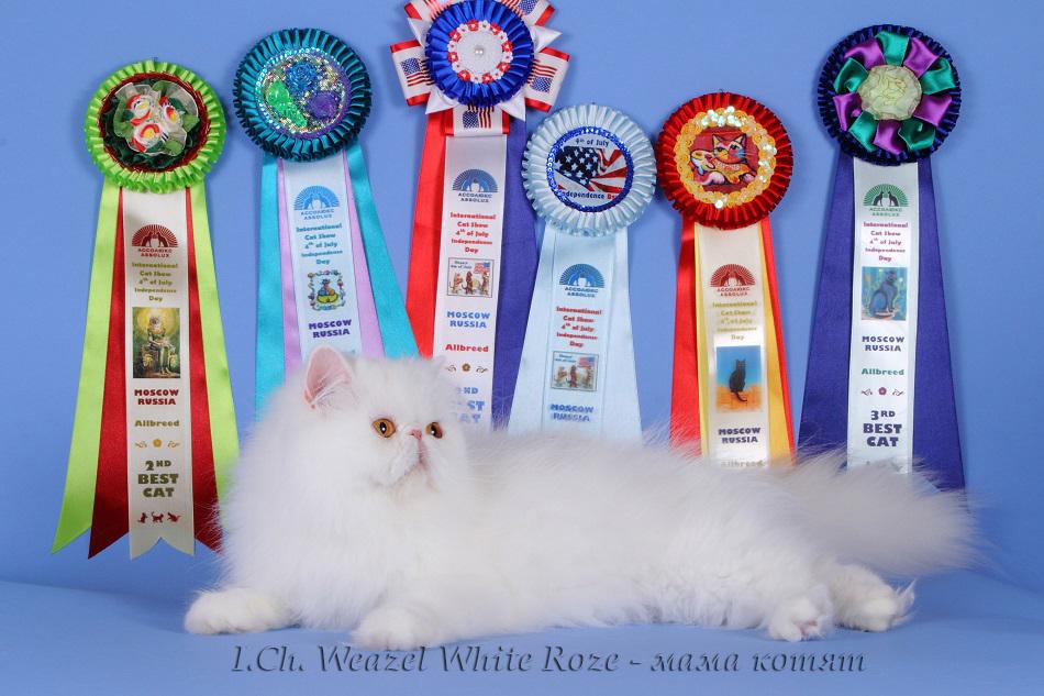 котята питомник персы